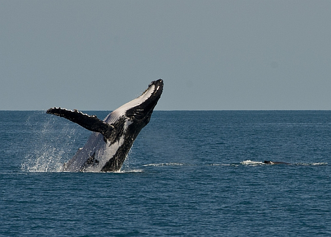 0btl7-Whale-and-calf.jpg